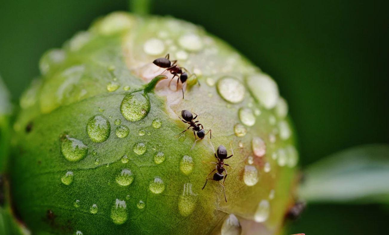 Drømmetydning maur