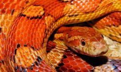 Drømmetydning slange: Drømmesymboler, Drømmer