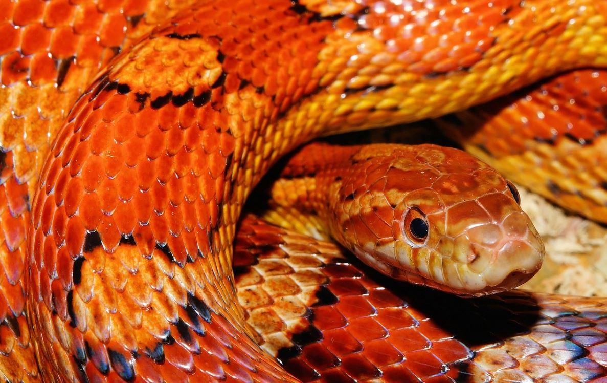 Drømmetydning slange