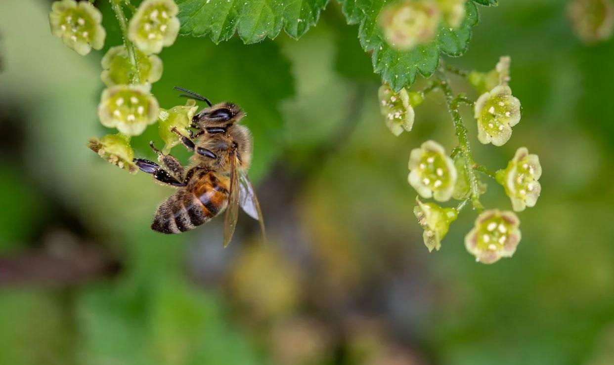 Drømmetydning bier