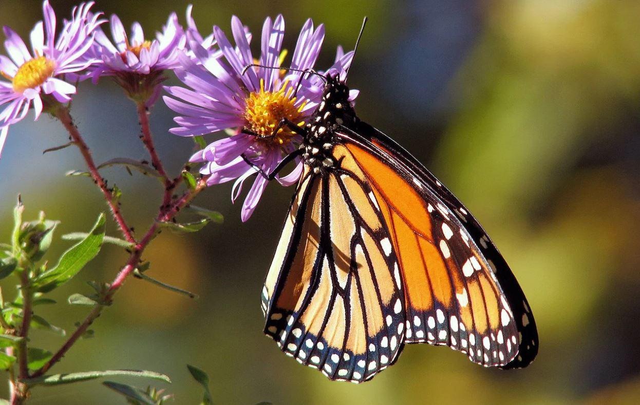 Drømmetydning sommerfugl