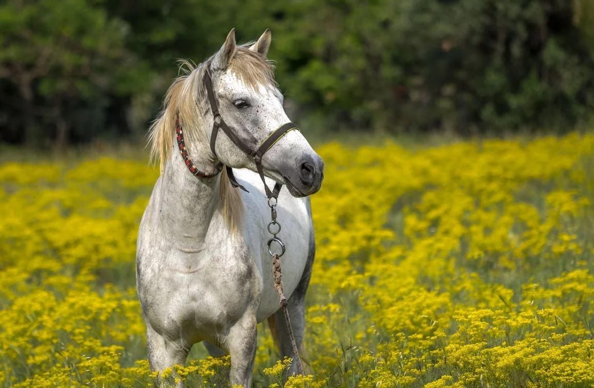 Drømmetydning hest