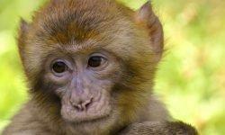 Drømmetydning ape: Drømmesymboler, Drømmer