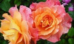 Drømmetydning blomster: Drømmesymboler, Drømmer