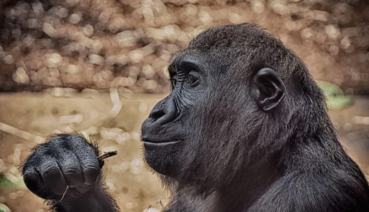 Drømmetydning Gorilla