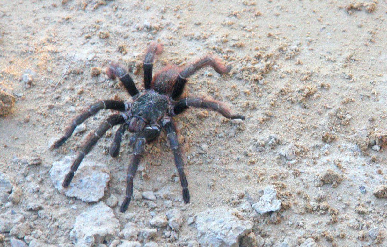 Drømmetydning tarantell(tarantula)