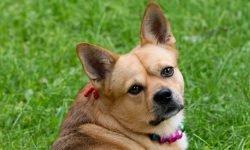 Drømmetydning brun hund: Drømmesymboler, Drømmer