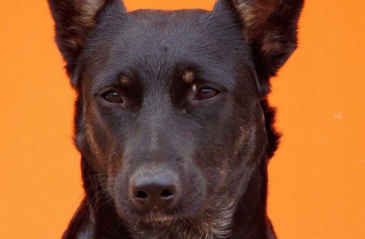 Drømmetydning svart hund