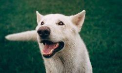 Drømmetydning hvit hund: Drømmesymboler, Drømmer