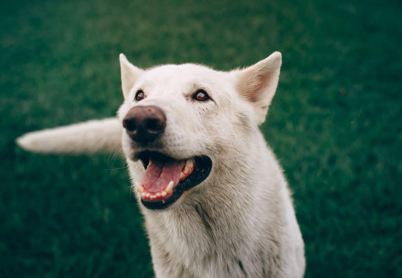 Drømmetydning hvit hund