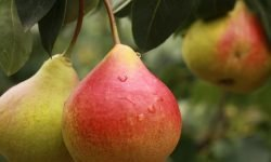 Er pære sunt? 16 gode grunner