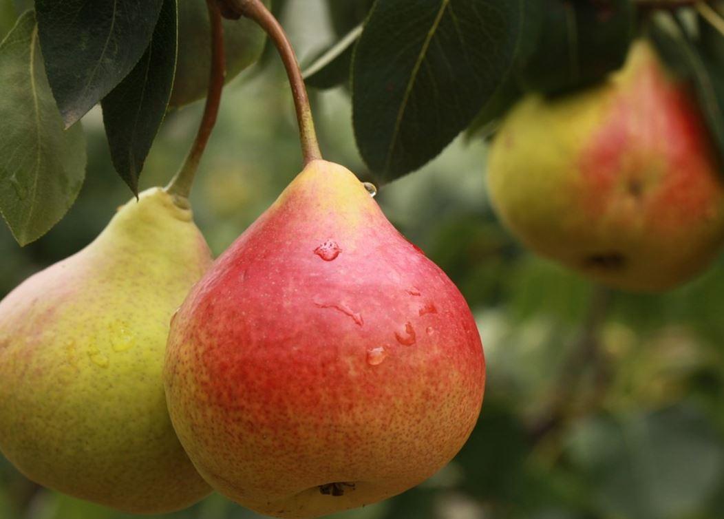 Er pære sunt?