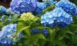 Hortensia: Betydningen av blomster